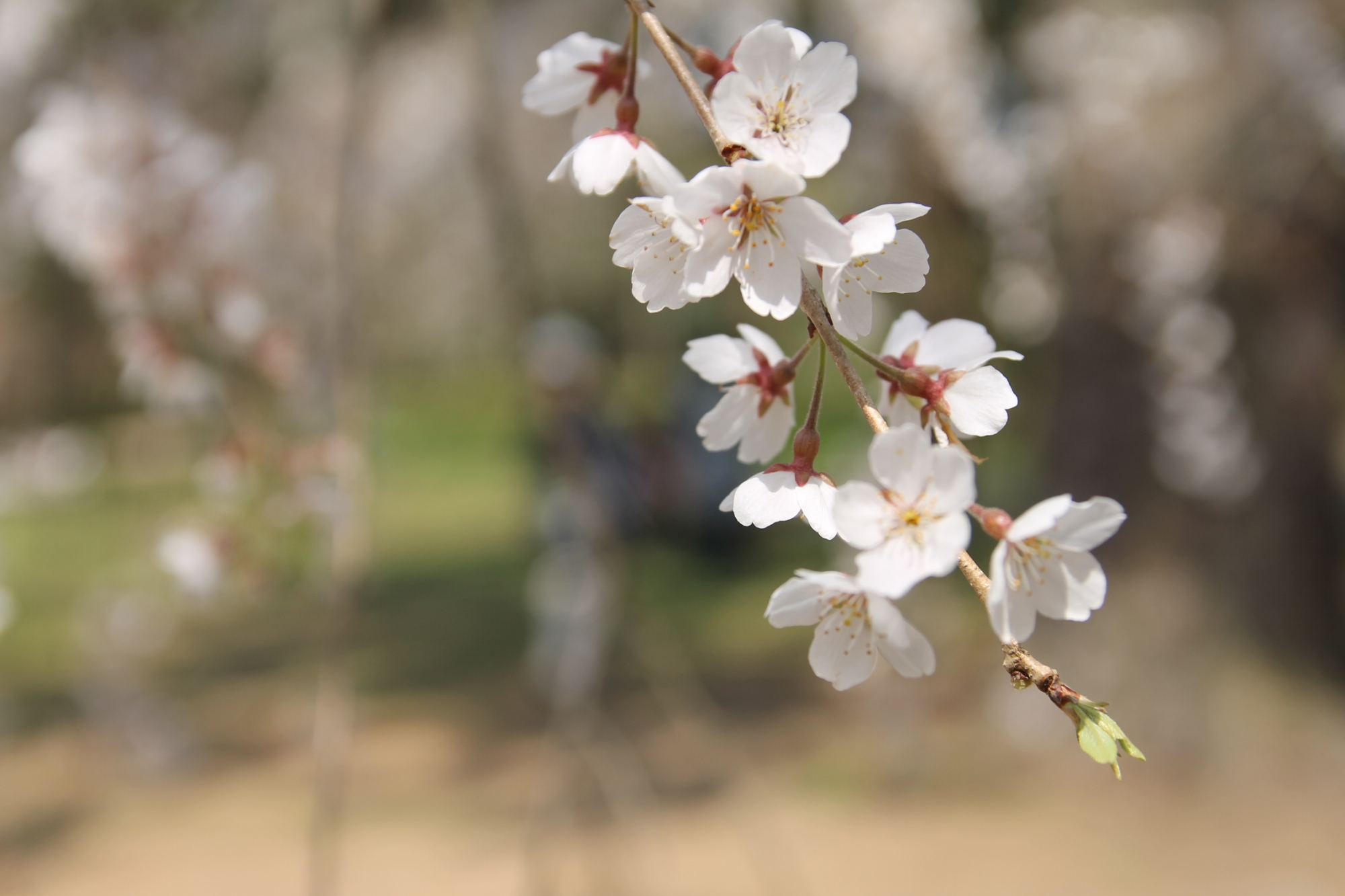 Leave of a Japanese Cherry Tree in full Blossom