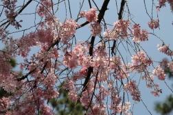 Sakura in Kyoto