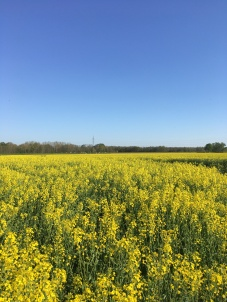 Rapeseed field in Leipzig, Germany